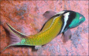 Picture of a Bluehead Wrasse