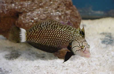 Picture of a Dragon Wrasse, Rockmover Wrasse or Red-belly Wrasse - Novaculichthys taeniourus