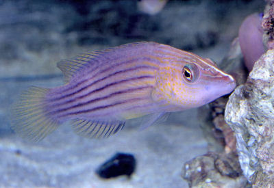 PIcture of an Eight-Lined Wrasse