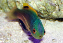 Scott's Fairy Wrasse, Cirrhilabrus scottorum, Greenback