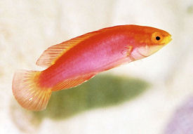 Picture of a female Flame Fairy Wrasse