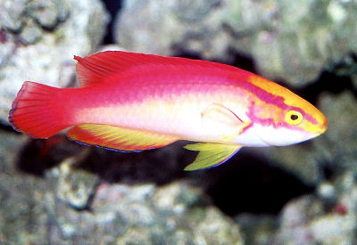 Picture of a Flame Fairy Wrasse (male)