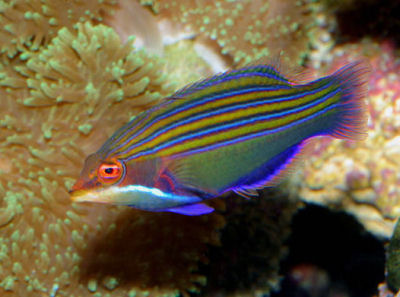 PIcture of a Four Line Wrasse