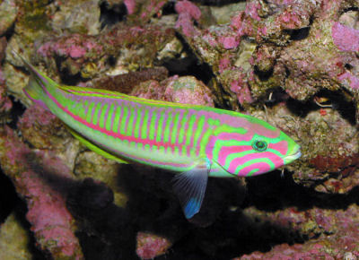 Picture of a Klunzinger's Wrasse, Thalassoma rueppellii