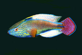 Picture of a Purplelined Fairy Wrasse male in display colors