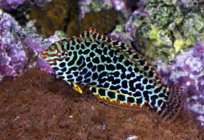 Picture of a Leopard Wrasse, Blackspotted Wrasse or Guinea Fowl Wrasse, Macropharyngodon meleagris