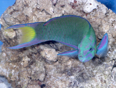 Picture of a Moon Wrasse or Lunar Wrasse, Thalassoma lucasanum