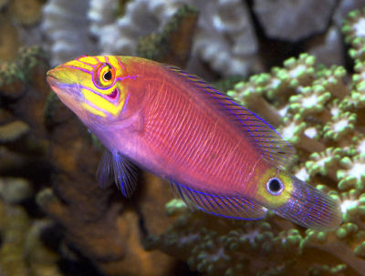 PIcture of a Mystery Wrasse or Whitebarred Wrasse