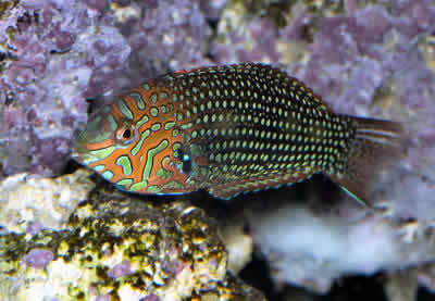 PIcture of an Ornate Leopard Wrasse or False Leopard, Macropharyngodon ornatus