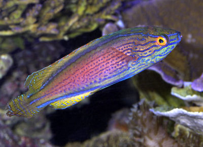 Picture of a Purplelined Fairy Wrasse or Lavender Fairy Wrasse