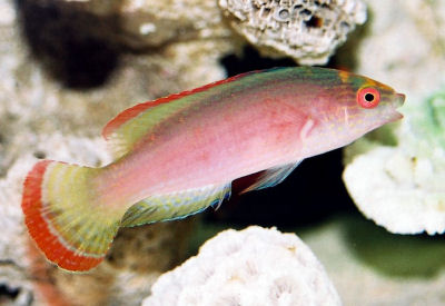 Picture of a Red-margined Fairy Wrasse or Pink-margined Fairy Wrasse