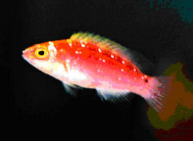 Juvenile Rose-band Fairy Wrasse, Cirrhilabrus roseafasci. Red-striped Fairy Wrasse, Pink-Banded Fairy Wrasse