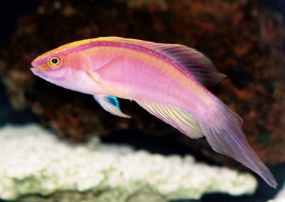 Rose-band Fairy Wrasse, Cirrhilabrus roseafasci. Red-striped Fairy Wrasse, Pink-Banded Fairy Wrasse