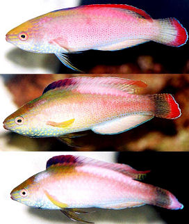 Picture of a Redmargined Fairy Wrasse male changing colors while displaying