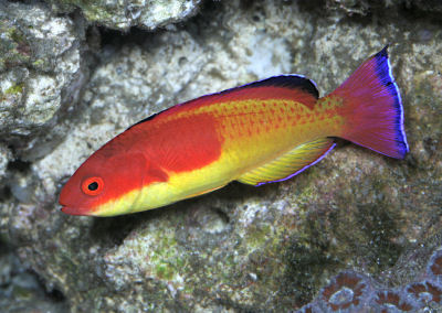 Picture of a Rosy-fin Fairy Wrasse
