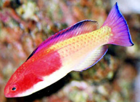 Picture of a Hooded Fairy Wrasse from Vanuatu
