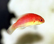 Picture of a female Rosy-fin Fairy Wrasse