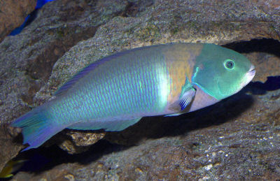 Picture of a Saddle Wrasse, Thalassoma duperrey