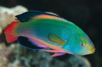 Scotts Fairy Wrasse Cirrhilabrus Scottorum Greenback Fairy Wrasse