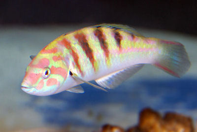 Picture of a Sixbar Wrasse,Thalassoma hardwicke