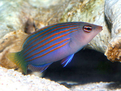 PIcture of a Six-Line Wrasse