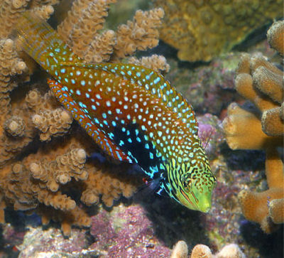 Picture of a Splendid Leopard Wrasse or Vermiculate Wrasse, Macropharyngodon bipartitus