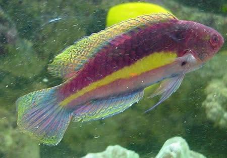 Velvet Wrasse, Cirrhilabrus cyanopleura, Labridae family wrasse fish