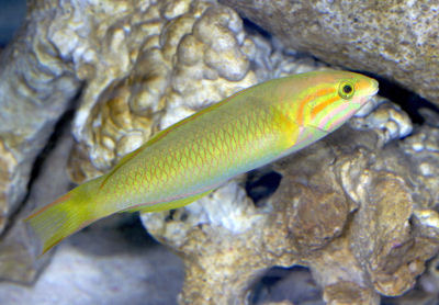 Picture of a Yellow-brown Wrasse or Yellow (Green) Moon Wrasse, Thalassoma lutescens