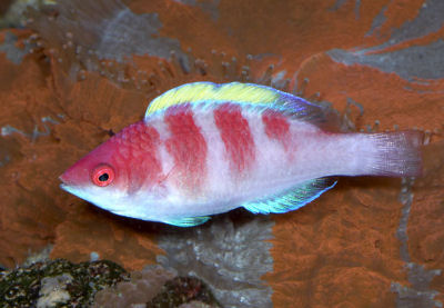 Picture of a Yellow-fin Fairy Wrasse