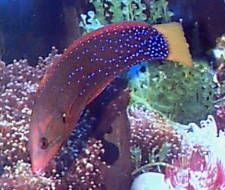 Clown Wrasse, African Clown Wrasse or Gaimard Rainbow-wrasse - Coris gaimardi