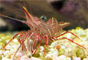 Picture of a Hingeback Shrimp or Dancing Shrimp Rhynchocinetes durbanensis
