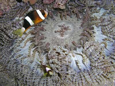 Beaded sea anemone heteractis aurora sea anemone guide - Anemone species caring color refinement ...