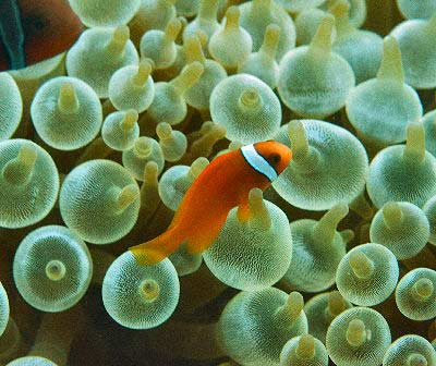 Picture of a Bubble Tip Anemone hosting a Tomato Clownfish