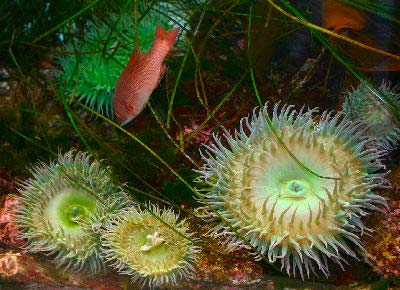 Giant Green Anemone, Anthopleura xanthogrammica, Giant Green Pacific Sea Anemone, Green Surf Anemone