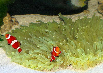 Magnificent Sea Anemone, Ritteri Anemone, Heteractis magnifica, Bulb-Tip Anemone, Purple Base Anemone