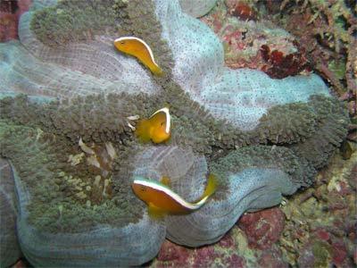 Merten's Carpet Anemone, Stichodactyla mertensii, Merten's Sea Anemone, Non-Stinging Carpet Anemone, Spotted-Base Carpet Anemone