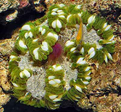 Red Beaded Anemone, Phymanthus (Epicystis) crucifer, Rock Flower Anemone
