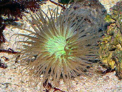 Tube Anemone, Cerianthus membranaceus, Colored Tube Anemone, Tube Dwelling Anemone, Burrowing Anemone