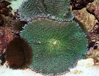Bullseye Mushroom, Tonga Blue Mushroom, Hairy Mushroom or Elephant Ear Mushroom, Rhodactis inchoata