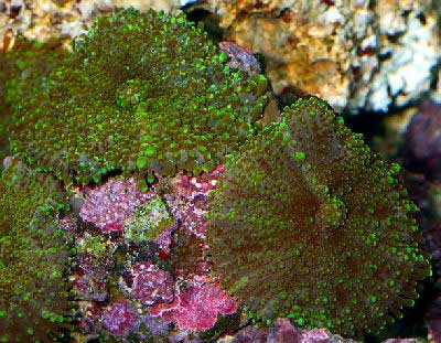 Green Metallic Mushroom, Brown Mushroom or Fuzzy Mushroom, Actinodiscus malaccensis