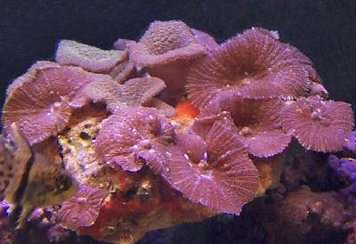 Red Striped Mushroom, Red Mushroom, Pimples Mushroom, or Red-brown Mushroom, Actinodiscus ferrugatus