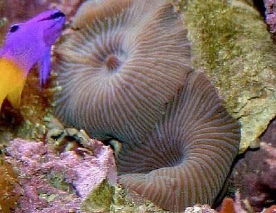 Radiating Mushroom Coral, Fine Striped Mushroom or Striped Mushroom, Actinodiscus striata