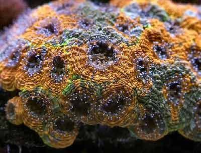 Acan Echinata, Acanthastrea echinata, also known as the Starry Cup Coral, Echinata Coral, Artichoke Coral, and Rainbow Acanthastrea