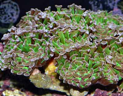 Anchor Coral, Euphyllia ancora also known as Sausage coral and Hammer Coral