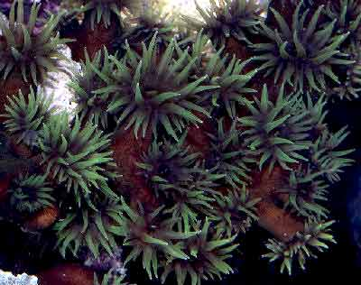 Black Sun Coral, Tubastraea micranthus, also known as the Branching Black Sun Coral, Black Tube Coral, Black Tubastrea, and Green Sun Coral