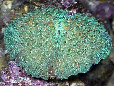 Disk Coral, Fungia sp., also known as Mushroom Coral, Plate Coral, Tongue Coral, Fungus Coral, and Chinaman Hat Coral