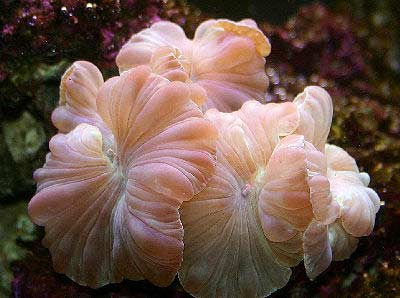 Picture of an Elegance Coral, a large polyp stony (LPS) coral