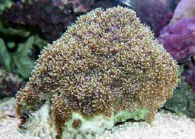 Galaxy Coral, Galaxea fascicularis, also known as Star Coral, Crystal Coral, Brittle Coral, and Starburst Coral
