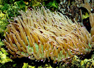 Plate Coral, Heliofungia actiniformis, also known as Long Tentacle Plate Coral, Sunflower Coral, and Disk Coral
