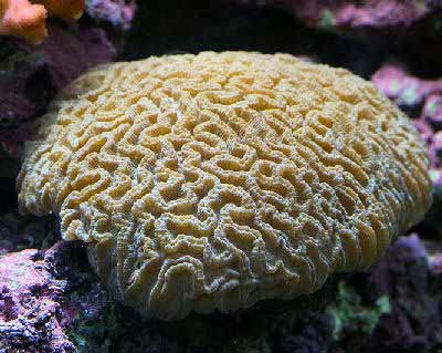 Maze Brain Coral, Platygyra sp., also known as the Brain Coral, Closed Brain Coral, Maze Coral, and Maze Moon Coral